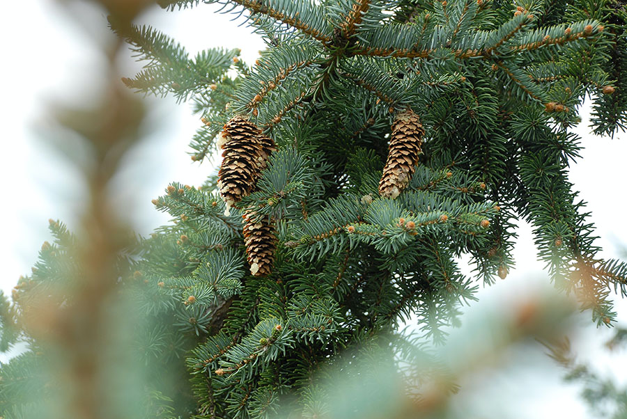 Pine bough with cones